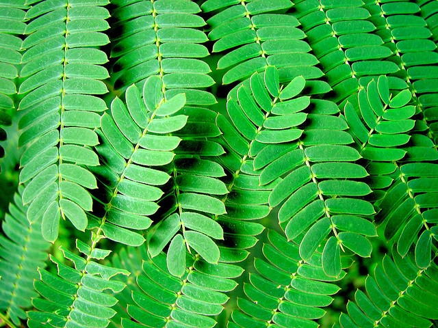The chinese mimosa tree minosa tree the leaves are fern like mightylinksfo