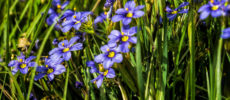 Blue-eyed Grass, Sisyrinchium angustifolium Mill