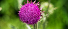 Texas Thistle, Cirsium texanum