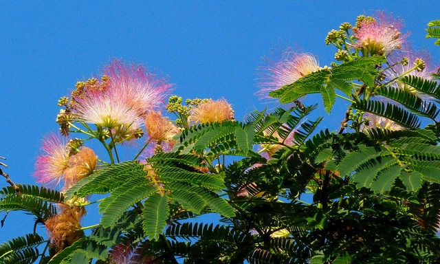 The Chinese Mimosa Tree
